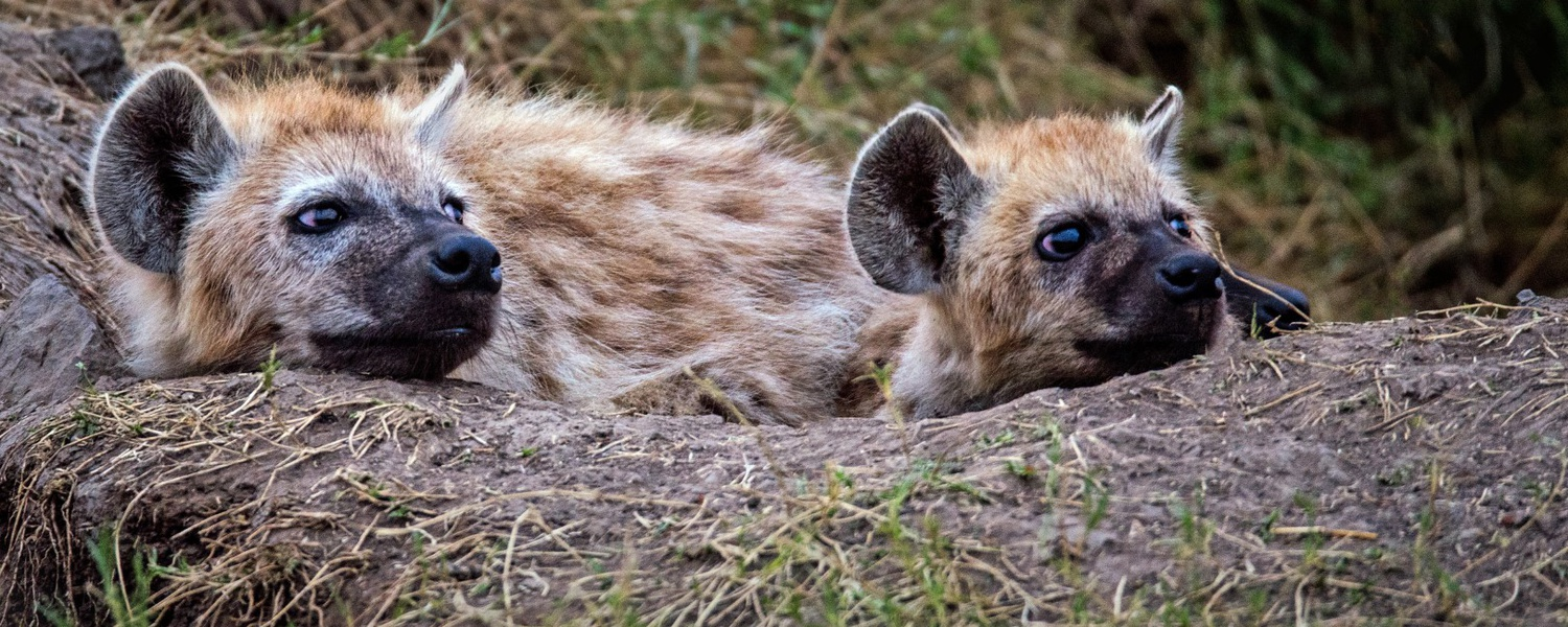 Hyenas Photo by David Clode on Unsplash